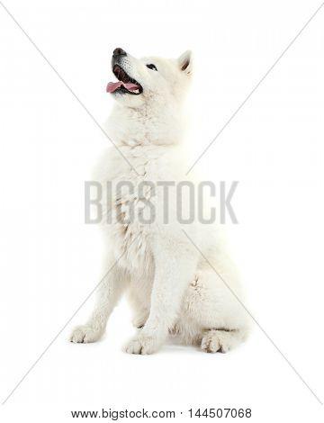 Fluffy samoyed dog isolated on white
