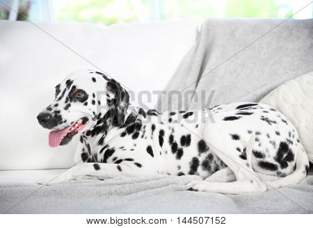 Dalmatian dog sitting on a couch