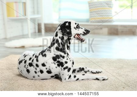Dalmatian dog sitting on a carpet