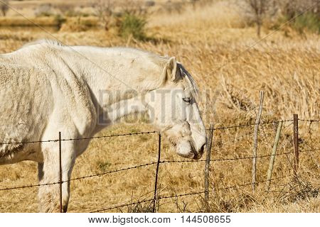 White stallion standing and chewing grass next to a wire fence