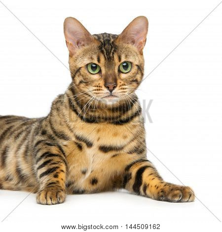 Portrait of beautiful bengal cat isolated over white background. Closeup. Copy space.