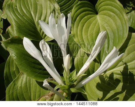 Hosta hybrid 'Royal Standard' white flowers and shiny green leaves.
