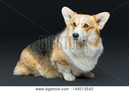 Beautiful welsh pembroke corgi dog sitting over black background. Copy space.