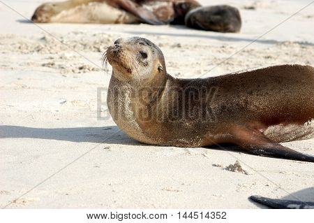Sea lion sunbathing on white sand Galapagos beach