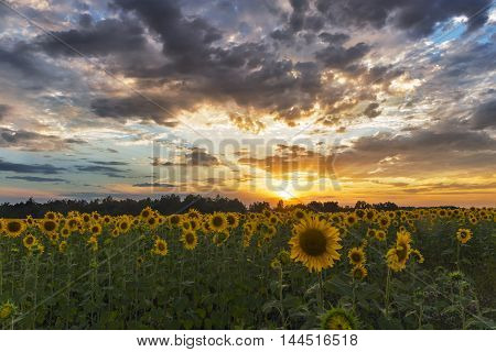 field of sunflowers at sunset clouds agriculture.