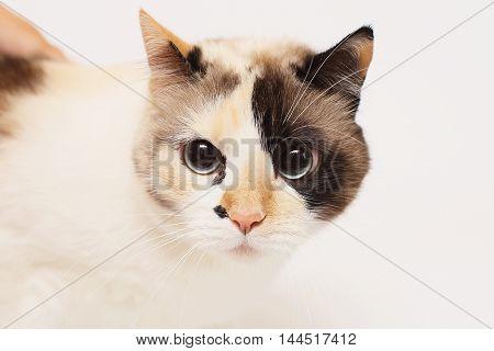 Blue eyed Cat .Beautiful cat with big eyes