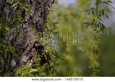 Songbird Starling feeding young in the nest - Closeup