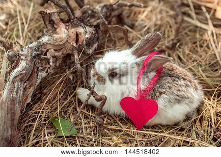 Cute little rabbit with heart of pink paper with ribbon on ear and exposed roots on hay on natural background
