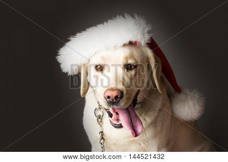 Labrador dog pet white color sitting in studio in red santa claus hat on grey background