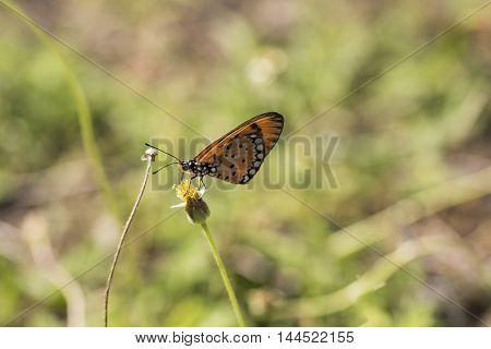 Orange And Black Spotted Butterfly Feeding In Natural Habitat Asia Ecology