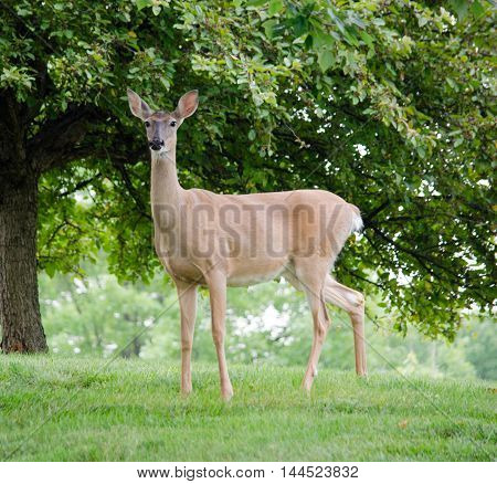Alert female deer standing on lawn next to tree.  Space for text.