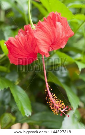 Close up of a pretty Red Hibiscus