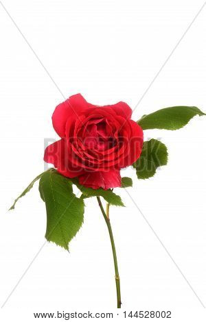 isolated red rose with leaves on a white background