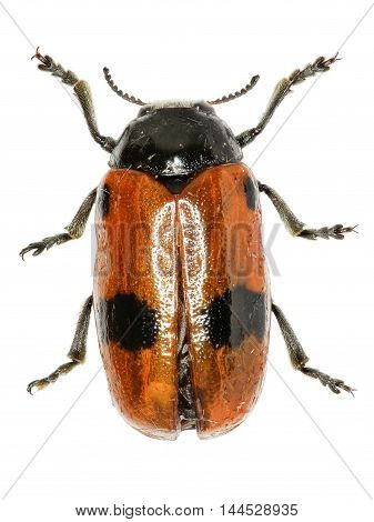 Short-horned Leaf Beetle on white Background  -  Clytra laeviuscula (Ratz., 1837)