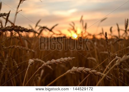 a majestic sunrise over a field of wheat ears of wheat closeup in the sun at dawn. dramatic picturesque summer scene. colorful sunrise with clouds. beautiful rural landscape. creative image