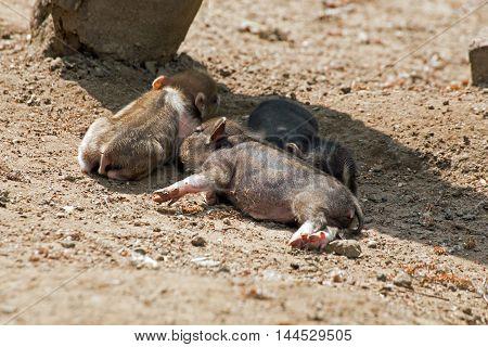 Several pot bellied pig (piglet) on ground