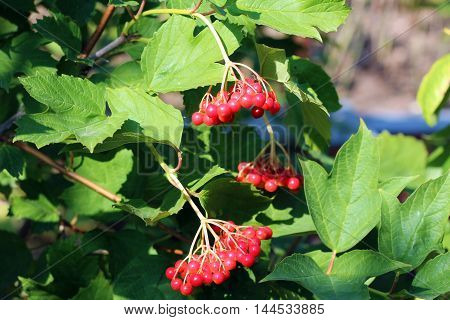 Rowan berries on a twig with leaves