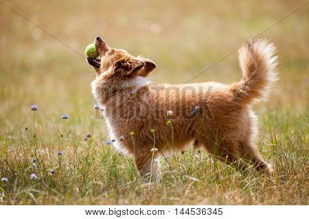 shetland sheepdog with ball on a field
