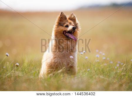 a shetland sheepdog sits on a field