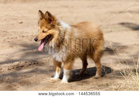 shetland sheepdog stands on a dirty track