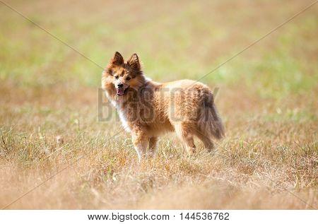 a shetland sheepdog stands on a field