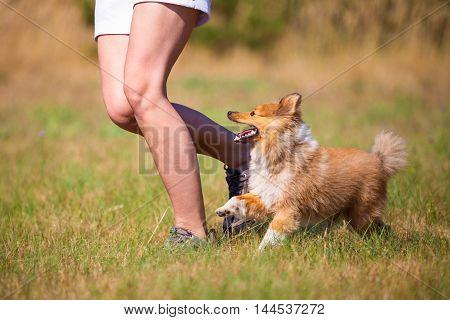 a shetland sheepdog walks by a human