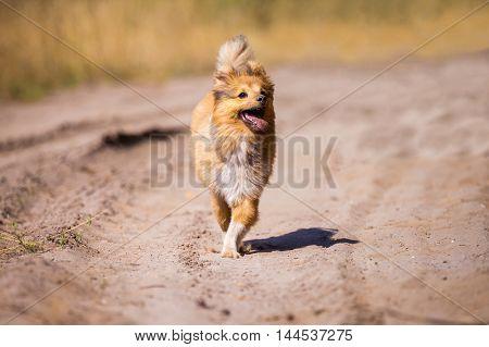 running shetland sheepdog on a dirty road