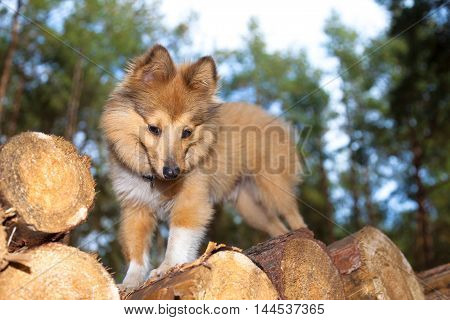 a shetland sheepdog stands on logs and looks to the ground