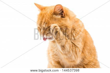 red cat cleaning itself on a white background