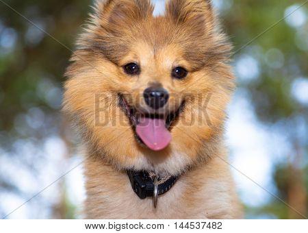 a shetland sheepdog looks into the camera
