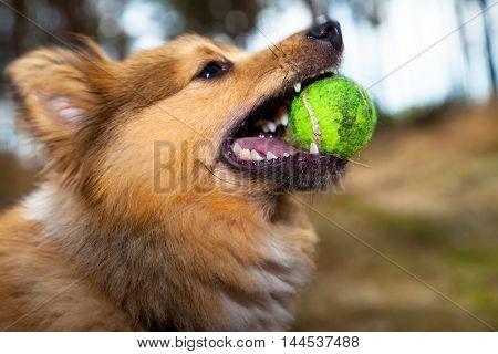 a shetland sheepdog plays with a ball