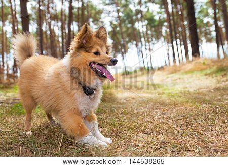 a shetland sheepdog wait for a treat