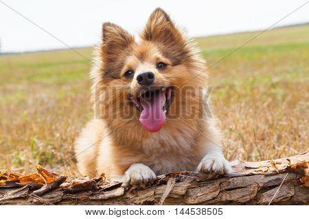 a shetland sheepdog lies on a branch