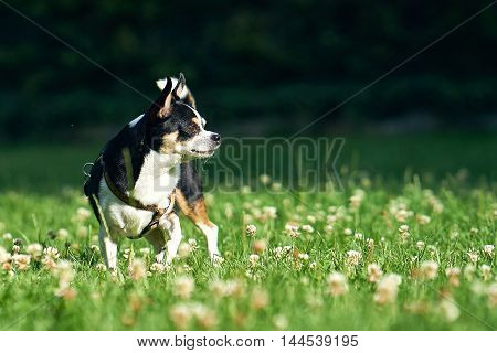 A small funny dog on the green grass
