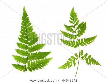 Two isolated green leaves of fern on a white background