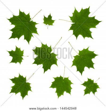 Isolated ornament of green maple leaves on a white background