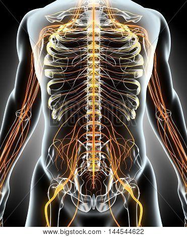 3D Illustration Male Nervous System.
