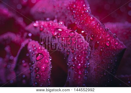 close-up beautiful rose with water drops. nature