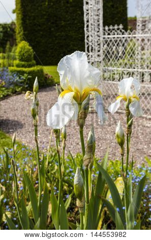 White Bearded Irises (Iris Germanica) in full bloom in a herbaceous border close-up.