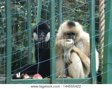 Two monkeys - Gibbons - sit and eat fruit in a cage at the zoo
