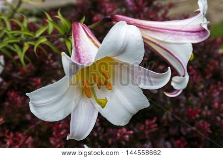 White and sugar-pink Oriental Lily flowers close-up.