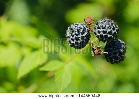 black raspberry with berries on the bush