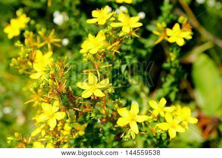 Yellow beautiful flowers of medical St.-John's wort
