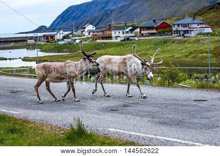 Reindeer in the North of Norway, Nordkapp