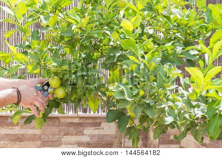hands with scissors, a person grabs fresh lemons with scissors