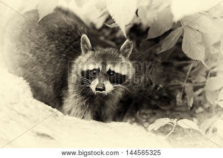 Raccoon In The Forest. Vintage Effect
