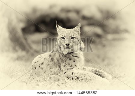 Young Lynx. Vintage Effect