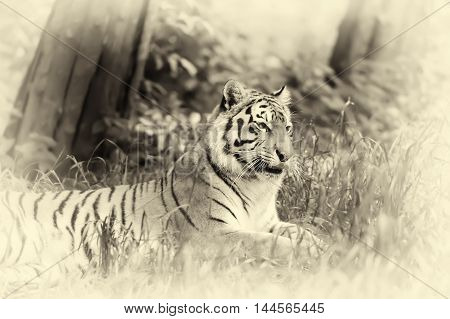 Amur Tigers On Grass. Vintage Effect