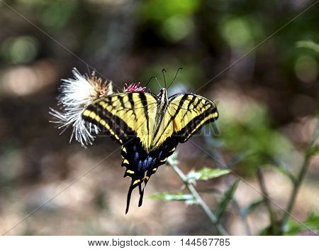 Two Tailed Swallowtail Butterfly