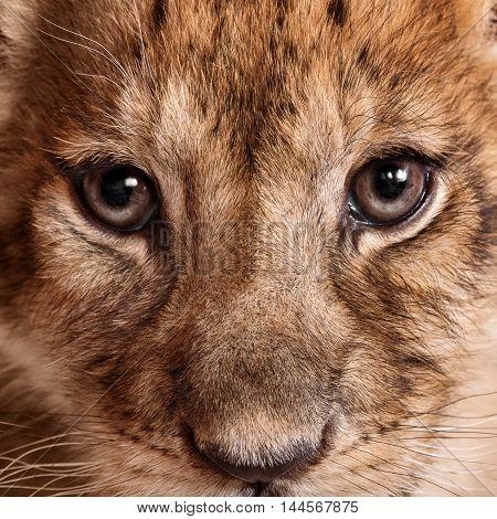 Close up of a lion cub portrait